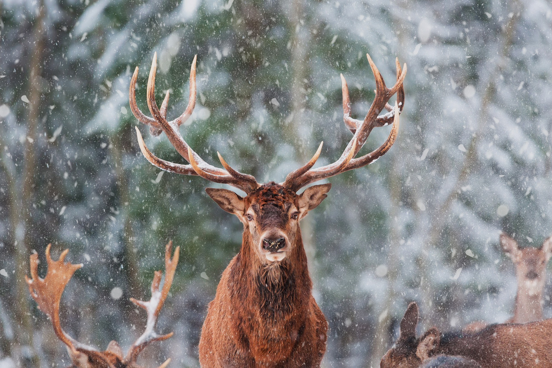 The Stag and his Glorious Crown